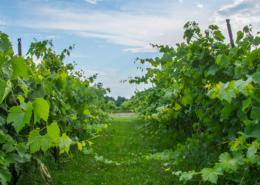 Vignoble et vigneron